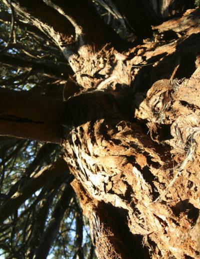 sequoias-6888