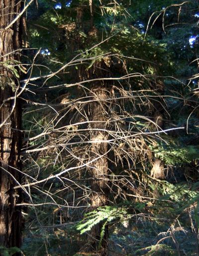 sequoias-7179
