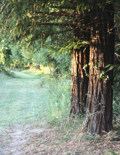 Projet d'ouvrage chez Actes Sud sur les Séquoias